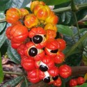 Paullinia cupana GUARANA (5 graines)