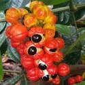 Paullinia cupana GUARANÁ (5 semillas)