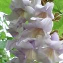 Paulownia tomentosa PRINCESS TREE (plant)