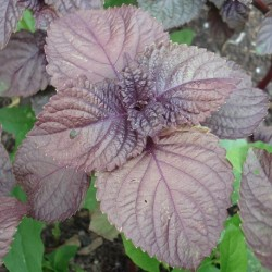 Perilla frutescens SHISO PURPLE (pflanze)