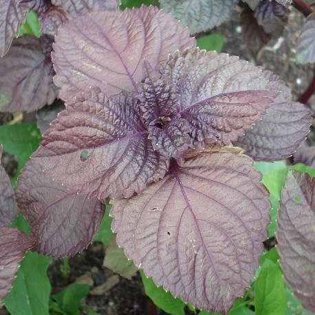 red-shiso-plant