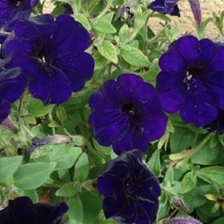 Petunia violacea VIOLETTE PETUNIE SHANIN (20 samen)