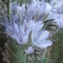 Phacelia tanacetifolia PURPLE TANSY (25 seeds)