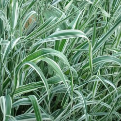 Phalaris arundinacea REED CANARY GRASS (plant)