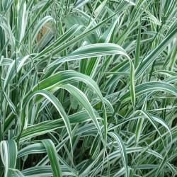 Phalaris arundinacea ROHRGLANZGRAS (pflanze)