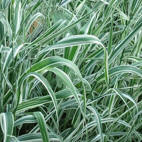 canary-grass-live-plant