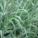 Phalaris arundinacea HIERBA CINTA (planta)