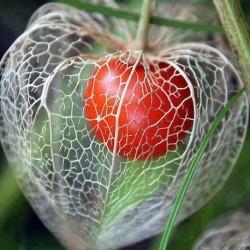 physalis alkekengi CHINESE LANTERN PLANT (20 seeds)