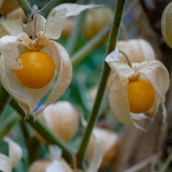 Physalis peruviana CAPE GOOSEBERRY (20 seeds)