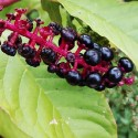 Phytolacca bogotensis POKEWEED / POKEBERRY (10 seeds)