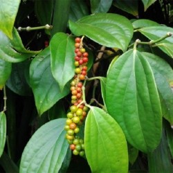 Piper nigrum POIVRIER NOIR (plante)