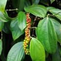 Piper nigrum BLACK PEPPER (plant)