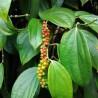 planta-de-pimienta-negra