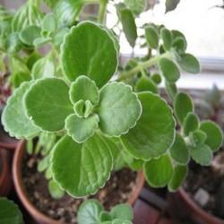 Plectranthus amboinicus JAMAIKA THYMIAN / MEXIKANISCHER OREGANO (pflanze)