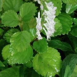 Plectranthus australis HARFENSTRAUCH (pflanze)