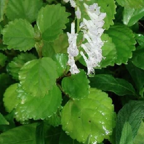 swedish-ivy-plant