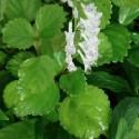 Plectranthus australis SWEDISH IVY (plant)
