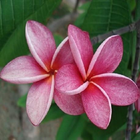 frangipani-pflanze