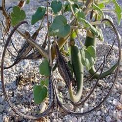 Proboscidea parviflora DEVIL'S HORN (7 seeds)