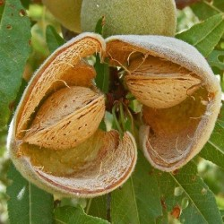 Prunus dulcis ALMOND TREE, BADAM (2 seeds)