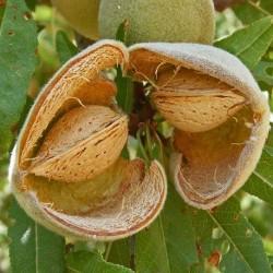 Prunus dulcis AMANDIER (2 graines)