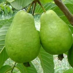 Psidium guajava GUAYABA (20 semillas)