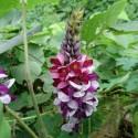 Pueraria tuberosa KUDZU (5 semillas)