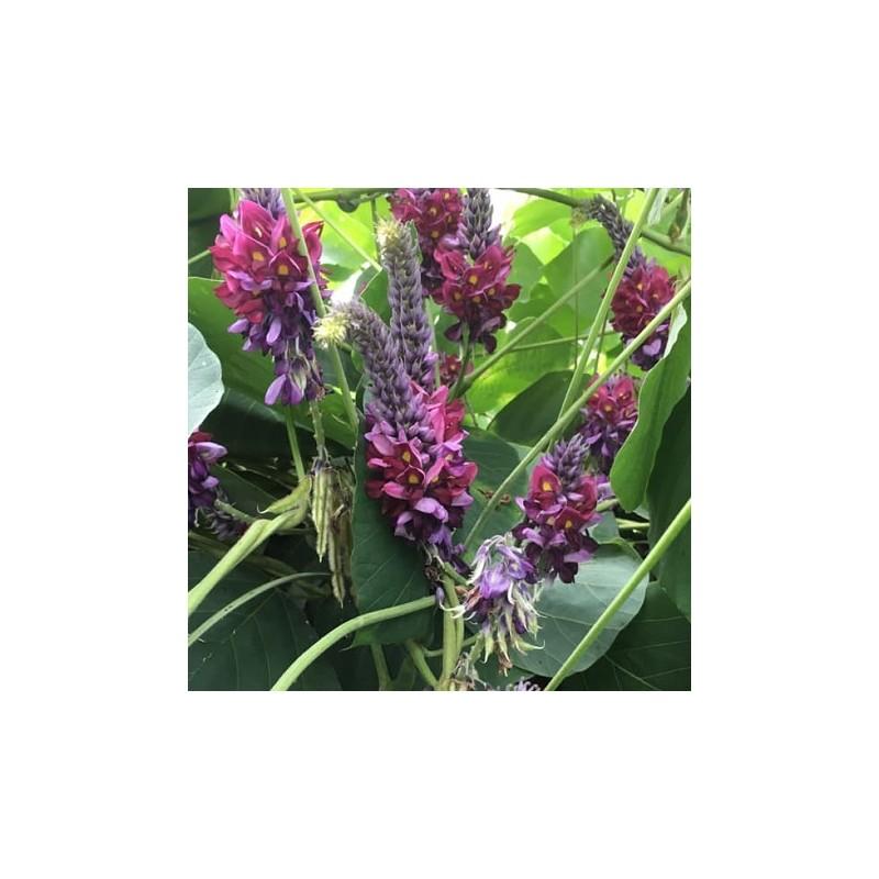 5 Seeds KUDZU Vine Seeds Pueraria Lobata -26 ° C