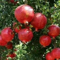 Punica granatum POMEGRANATE (10 seeds)