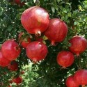 Punica granatum GRANADA (10 semillas)