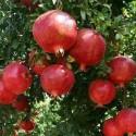 Punica granatum POMEGRANATE (10 seeds)