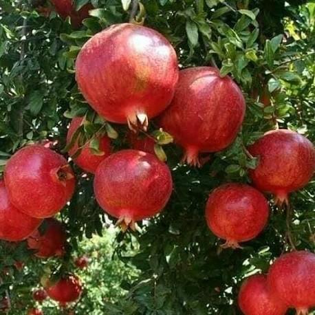 50 graines fraîches de Grenadier Pomegranate seeds Punica granatum