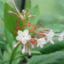 Rauwolfia Serpentina ARBRE AUX SERPENTS (5 graines)