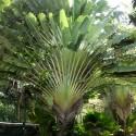 Ravenala madagascariensis ARBOL DEL VIAJERO (5 semillas)