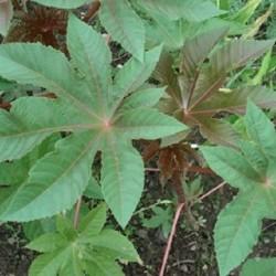 Ricinus communis CASTOR BEAN (5 seeds)