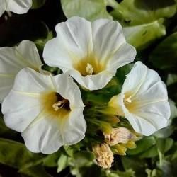 Rivea corymbosa OLOLIUQUI, TURBINA (10 semillas)