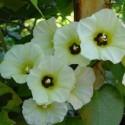 Rivea, Turbina corymbosa OLOLIUQUI ou TURBINA (plante)