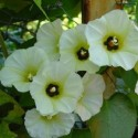 Rivea, Turbina corymbosa OLOLIUQUI (pflanze)