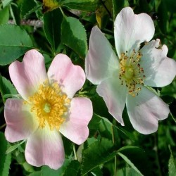 Rosa canina DOG ROSE (10 seeds)