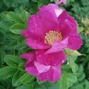 Rosa rugosa KARTOFFEL-ROSE (10 samen)