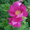 Rosa rugosa ROSA JAPONESA (10 semillas)