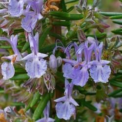 Rosmarinus officinalis ROMERO (20 semillas)