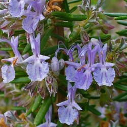 Rosmarinus officinalis ROSEMARY (20 seeds)