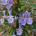 Rosmarinus officinalis ROSEMARY (20 seeds)