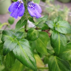 Rungia klossii MUSHROOM PLANT (plant)