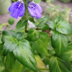 Rungia klossii PLANTE CHAMPIGNON (plante)