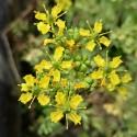 Ruta graveolens COMMON RUE (20 seeds)