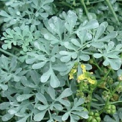 Ruta graveolens COMMON RUE (plant)