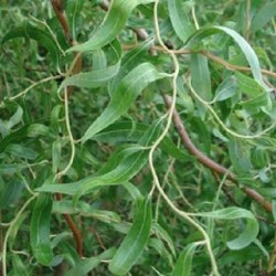corkscrew-willow-plant