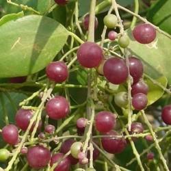 Salvadora persica SIWAK / MISWAK (10 graines)